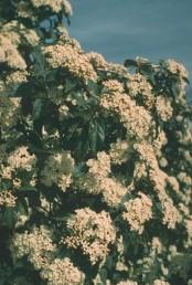 הפרחים לבנים ערוכים במעין סוכך.