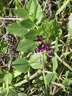 בקיה צרפתית Vicia narbonensis L.