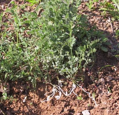 בקיה תרבותית Vicia sativa L.