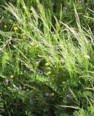 שעלב ארוך Vulpia muralis (Kunth) Nees