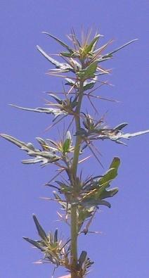 לכיד קוצני Xanthium spinosum L.