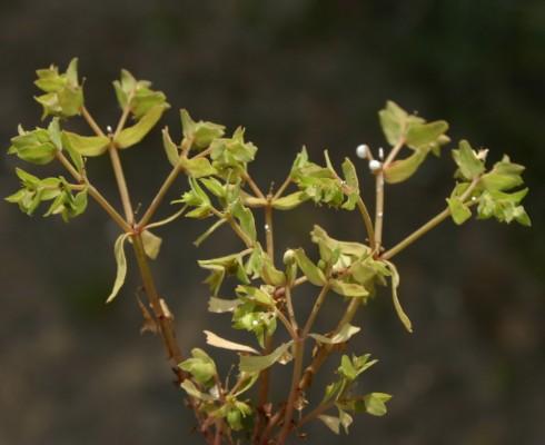 חלבלוב פעוט Euphorbia chamaepeplus Boiss. & Gaill.