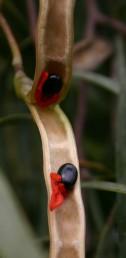 תרמיל עבה ומעוצה משני צדי השקע של הזרע; עוקץ הזרע אדום כהה והזרע שחור ומסייעים להפצה על ידי ציפורים .