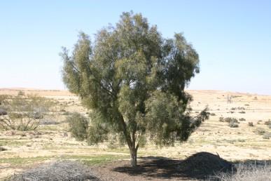 עץ בעל גבעולים משתלשלים.
