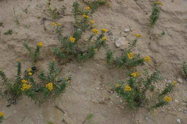 אכילאה ערבתית Achillea santolina L.