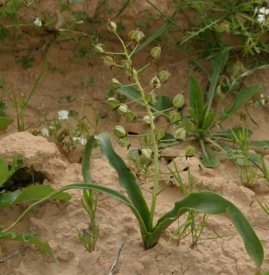 Bellevalia eigii Feinbrun