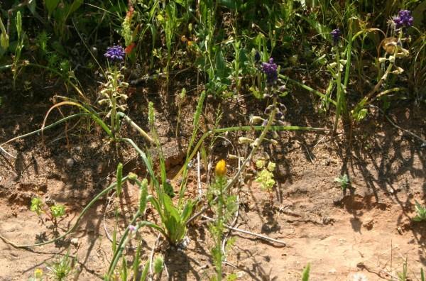 מצילות החוף Leopoldia bicolor (Boiss.) Eig & Feinbrun