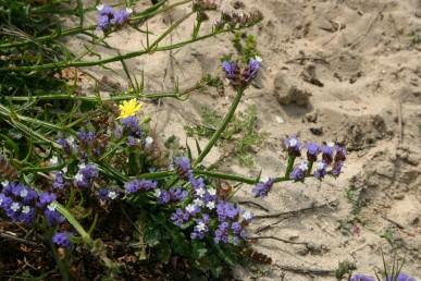צמחים רב-שנתיים שעירים או מחוספסים של אזור חוף הים. הענפים מכונפים לכל אורכם.