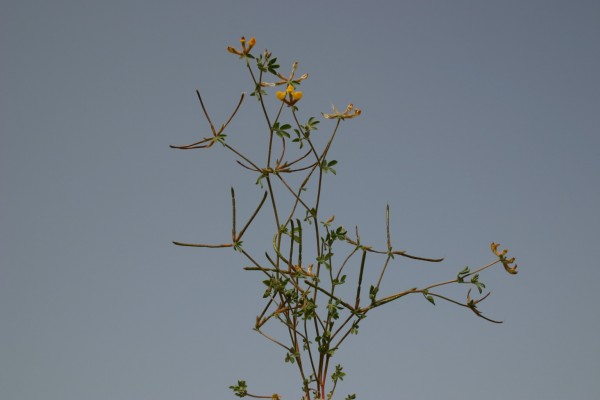 Lotus halophilus Boiss. & Spruner