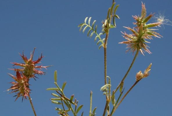 Onobrychis crista-galli (L.) Lam.