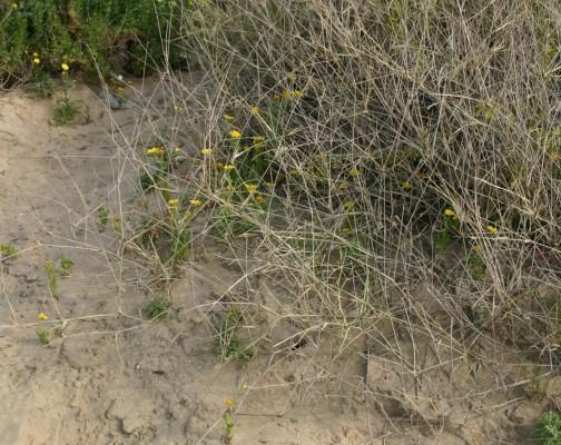 Panicum turgidum Forssk.