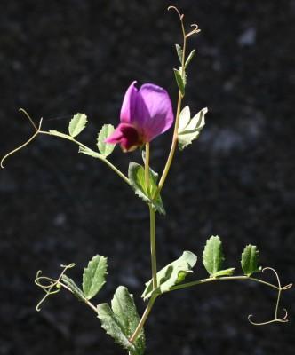 אפון נמוך Pisum sativum L.