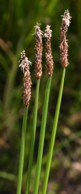 Eleocharis palustris (L.) Roem. & Schult.