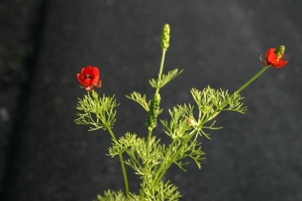 דמומית השדה Adonis annua L.