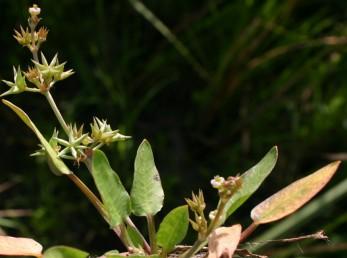 הפרחים והפירות ערוכים בדורים; כאן ניכרים 4 דורים העליון שבהם צעיר - במצב פריחה.