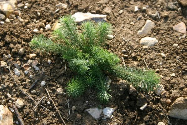 Euphorbia aleppica L.