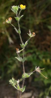 לוטוס דקיק Lotus angustissimus L.