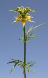 הפרחים צהובים, צמחים מכוסי שערות ארוכות ומפושקות.