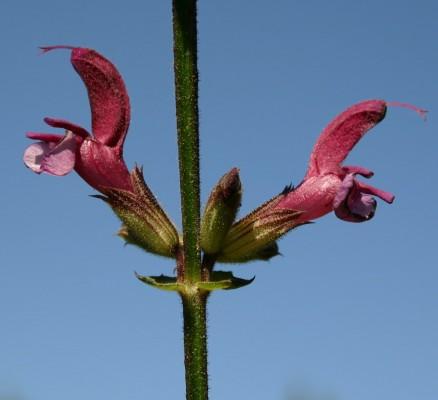 מרוות ירושלים Salvia hierosolymitana Boiss.