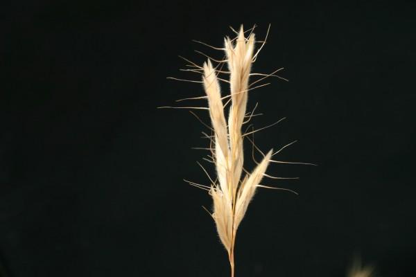 ברומית זנב-שועל Bromus alopecuros Poir.