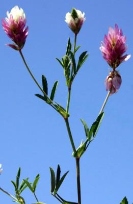 תלתן פלשתי Trifolium philistaeum Zohary