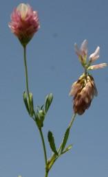 הפרחים העליונים לבני-כותרת, השאר ורודים.