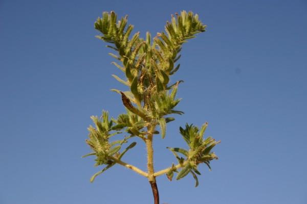 ארנבית צרת-עלים Arnebia linearifolia DC.