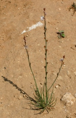 עירית צרת-עלים Asphodelus tenuifolius Cav.