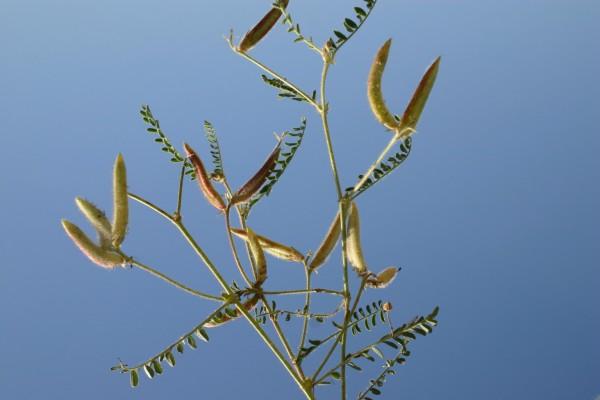 קדד האצבעות Astragalus peregrinus Vahl