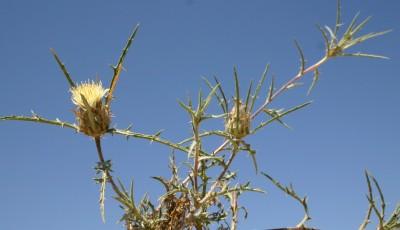 פרחי ההיקף לשוניים, מועטים; צבע הפרחים צהוב חיוור; הקוצים הצדדיים של חפי-המעטפת אינם מסועפים.