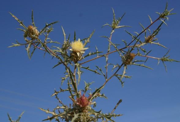 חורשף צהוב Atractylis carduus (Forssk.) C.Chr.