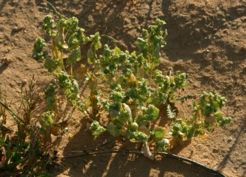 צמחי מדבר שעליהם פונים לכיוונים שונים, גובהם 20-10 ס