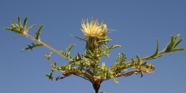 Centaurea pallescens Delile