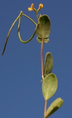 כתרון עקרבי Coronilla scorpioides (L.) W.D.J.Koch