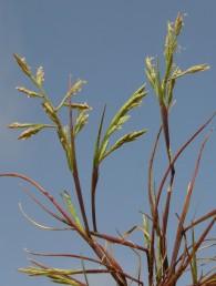 השיבוליות בנות 15-5 פרחים, רוחבן 5-3 מ