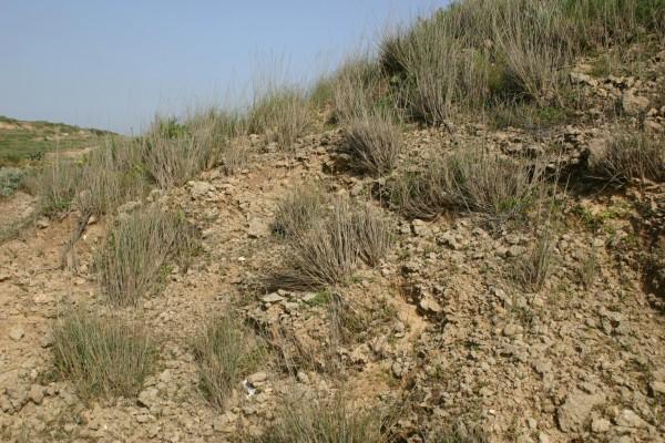 גלדן סמרני Elytrigia juncea (L.) Nevski
