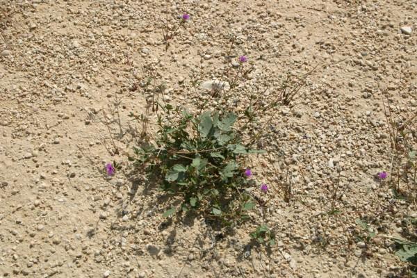 מקור-חסידה קירח Erodium glaucophyllum (L.) L'Her.