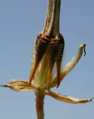 מקור-חסידה גדול Erodium gruinum (L.) L'Her.