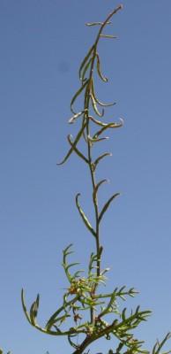 שלח מאונקל Erucaria pinnata (Viv.) Taeckh. & Boulos