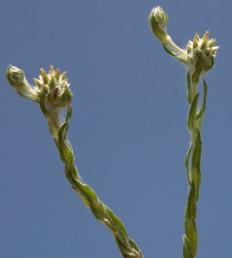 צמחים זקופים בעלי כדורי