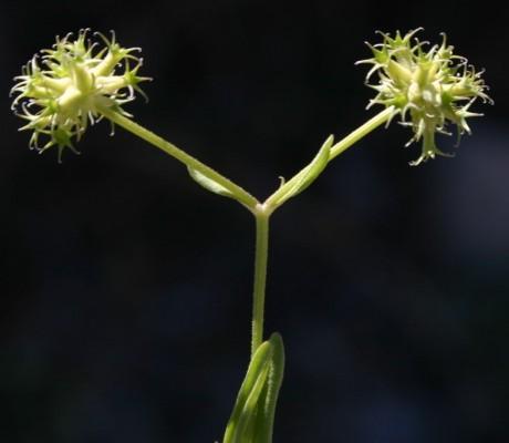 Valerianella dactylophylla Boiss. & Hohen.