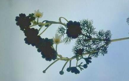נורית עגולת-עלים Ranunculus saniculifolius Viv.