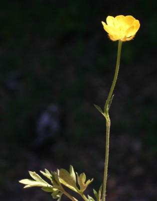נורית מניפנית Ranunculus paludosus Poir.