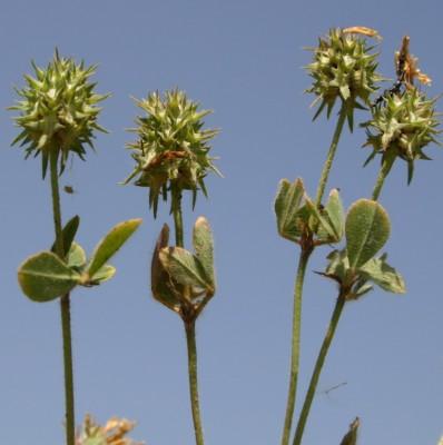 תלתן נחות Trifolium plebeium Boiss.