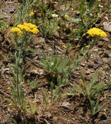 אכילאה קטנת-פרחים Achillea arabica Kotschy