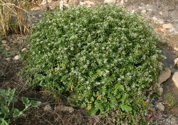 Apium nodiflorum (L.) Lag.