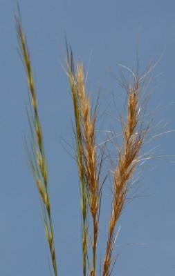 תלת-מלען פעוט Aristida adscensionis L.