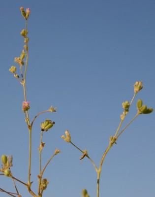 בורהביה זוחלת Boerhavia repens L.