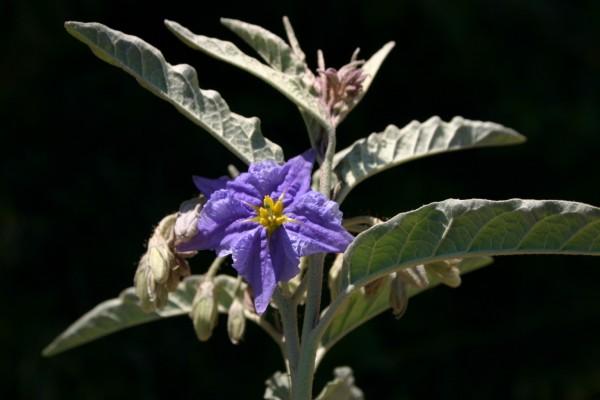 סולנום זיתני Solanum elaeagnifolium Cav.