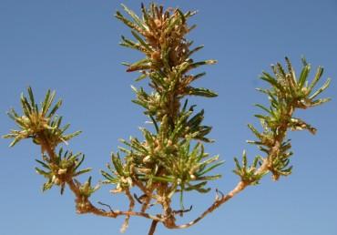 צמחים חד-שנתיים נמוכים, ירוקים-צהבהבים. גדלים בקרקע חולית במישור החוף ובנגב.